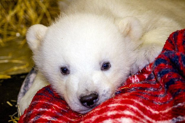 Most Beautiful Baby Polar Bear
