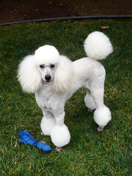 Image Result For Miniature Poodle Breeders Va