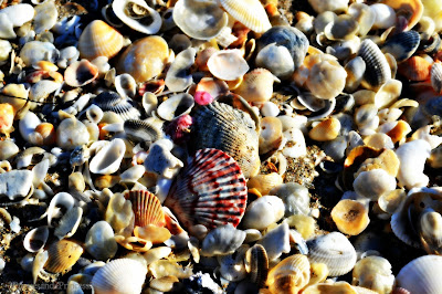 sea shells, beach