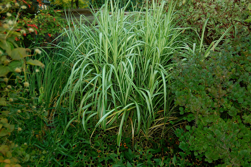 Astrids Garden Design Ornamental Grasses