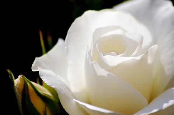 Tv canal m mexico el significado de las rosas - Significado rosas blancas ...