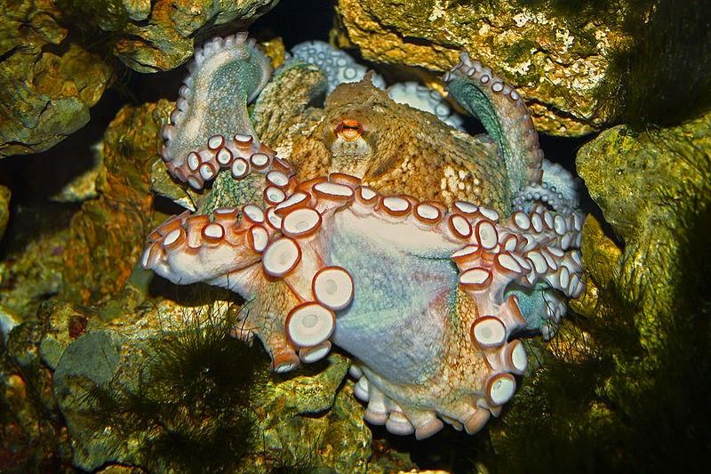 Características, alimentação, reprodução e distribuição do Polvo comum (Octopus vulgaris cuvier).