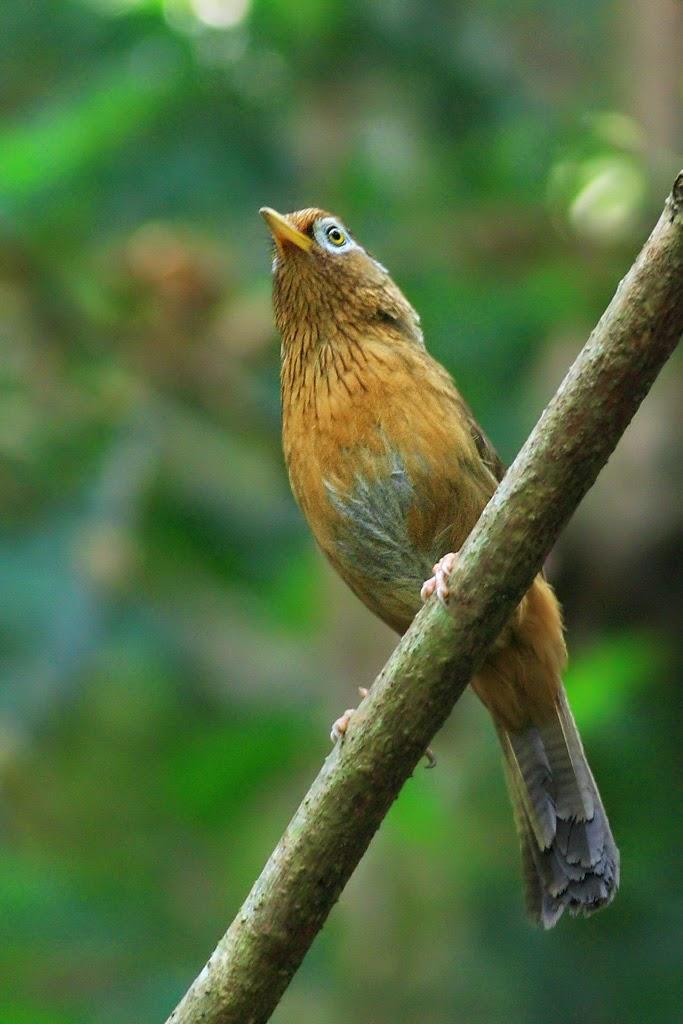 Mengenal burung Hwa mei / wambay