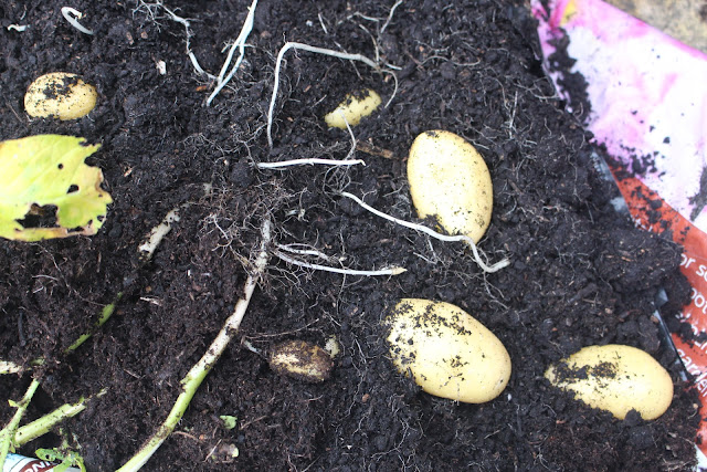 Jazzy potatoes unearthed from a small bag of compost