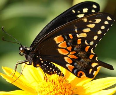 Black Swallowtail