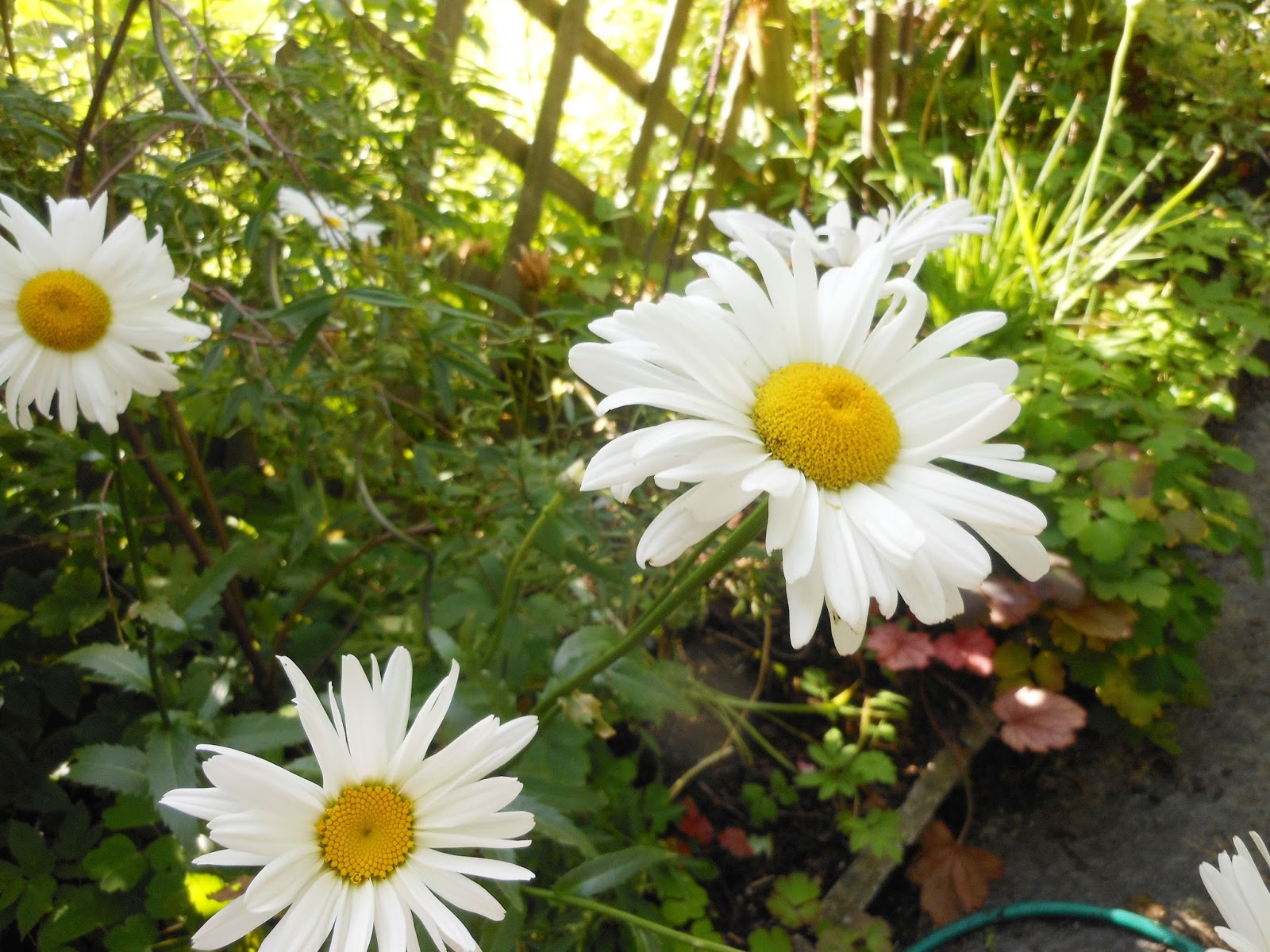 blomma som liknar prästkrage