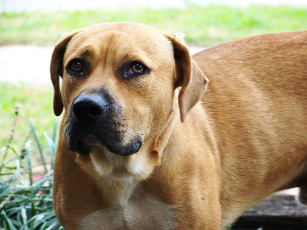 Blackmouth Cur ~ Top Dogs Breeds