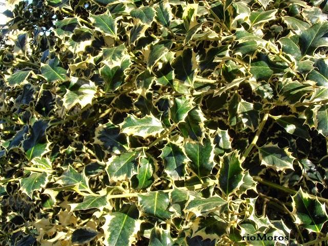 ACEBO: Ilex aquifolium