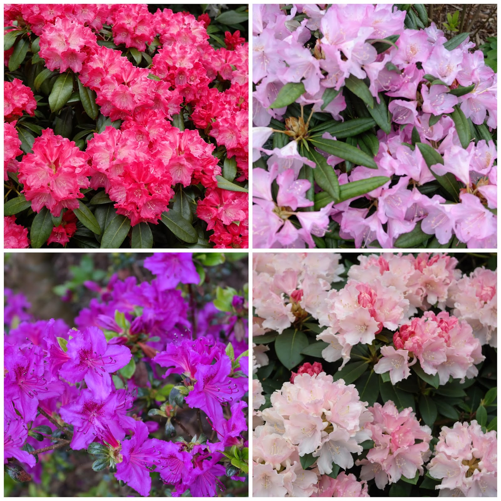 Rhododendronhaven i Rens