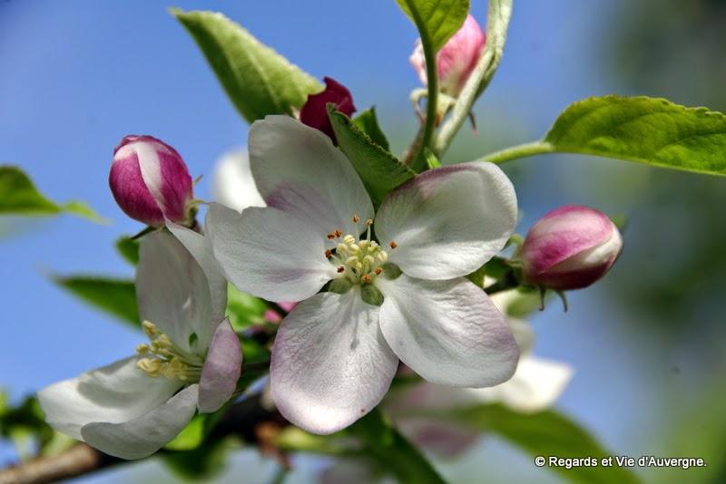 regards et vie d 39 auvergne le blog photos de fleurs de pommiers. Black Bedroom Furniture Sets. Home Design Ideas