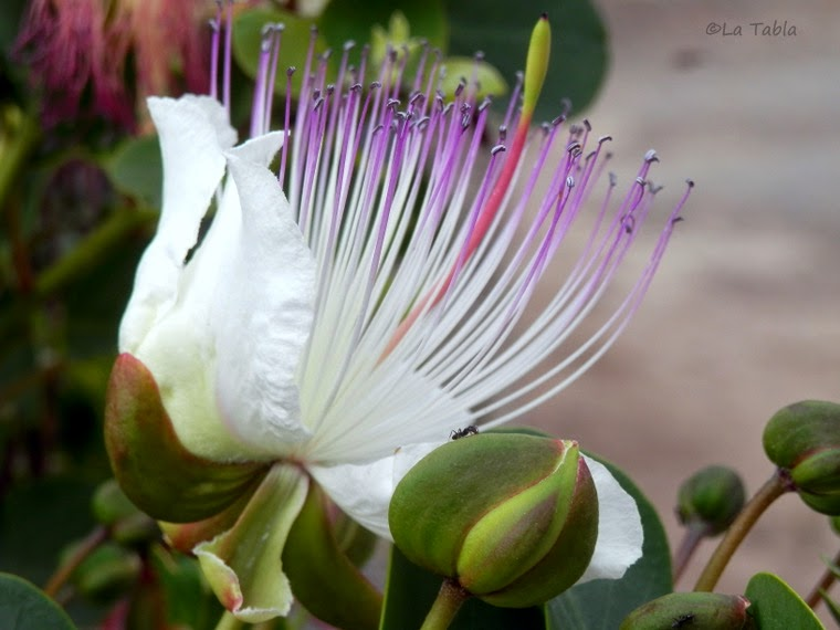 La flor de la alcaparra Plantas jardin mediterraneo