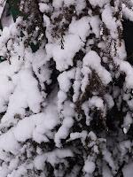 можжевельник в снегу апрель