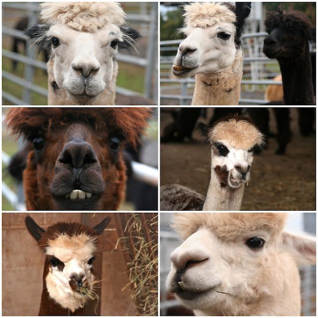 Alpaca Farm funny faces cheer me up