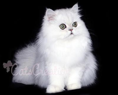 10 Fakta Menarik Amp Unik Di Dunia 10 Jenis Kucing Mahal