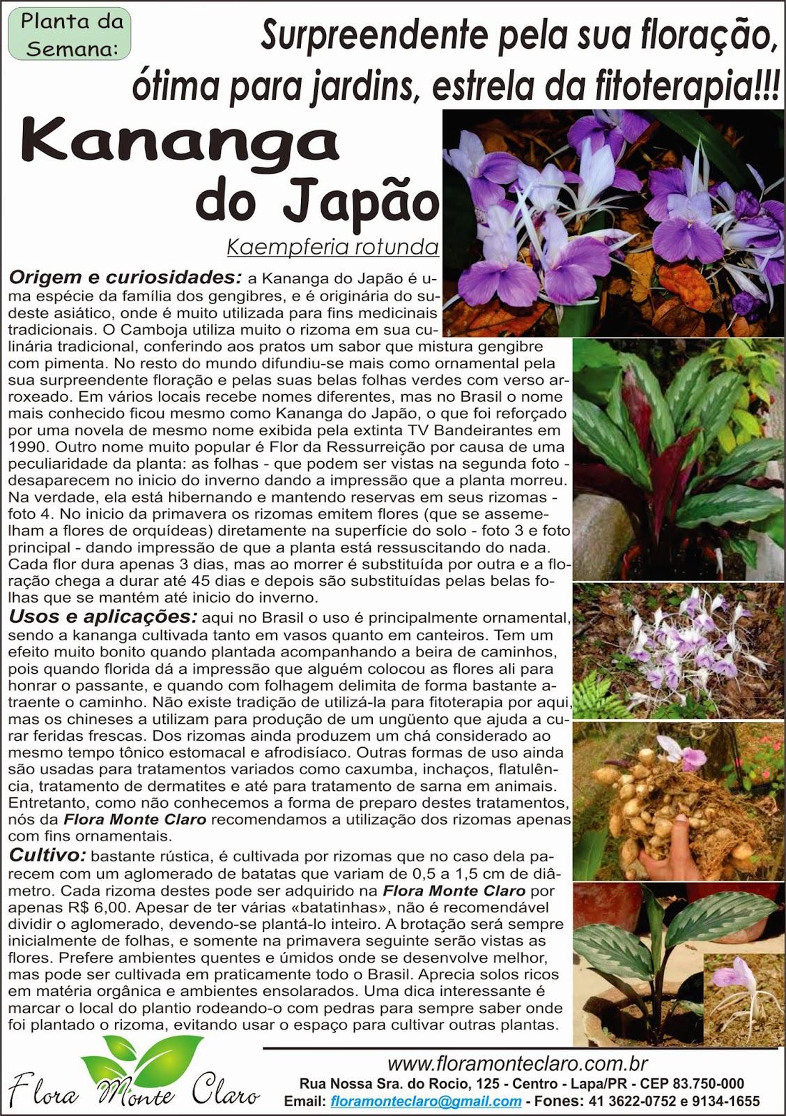 Kananga do Japão ou Flor da Ressurreição