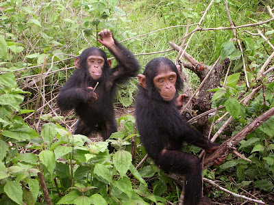 Gene regulation differences between humans and chimpanzees more complex than thought