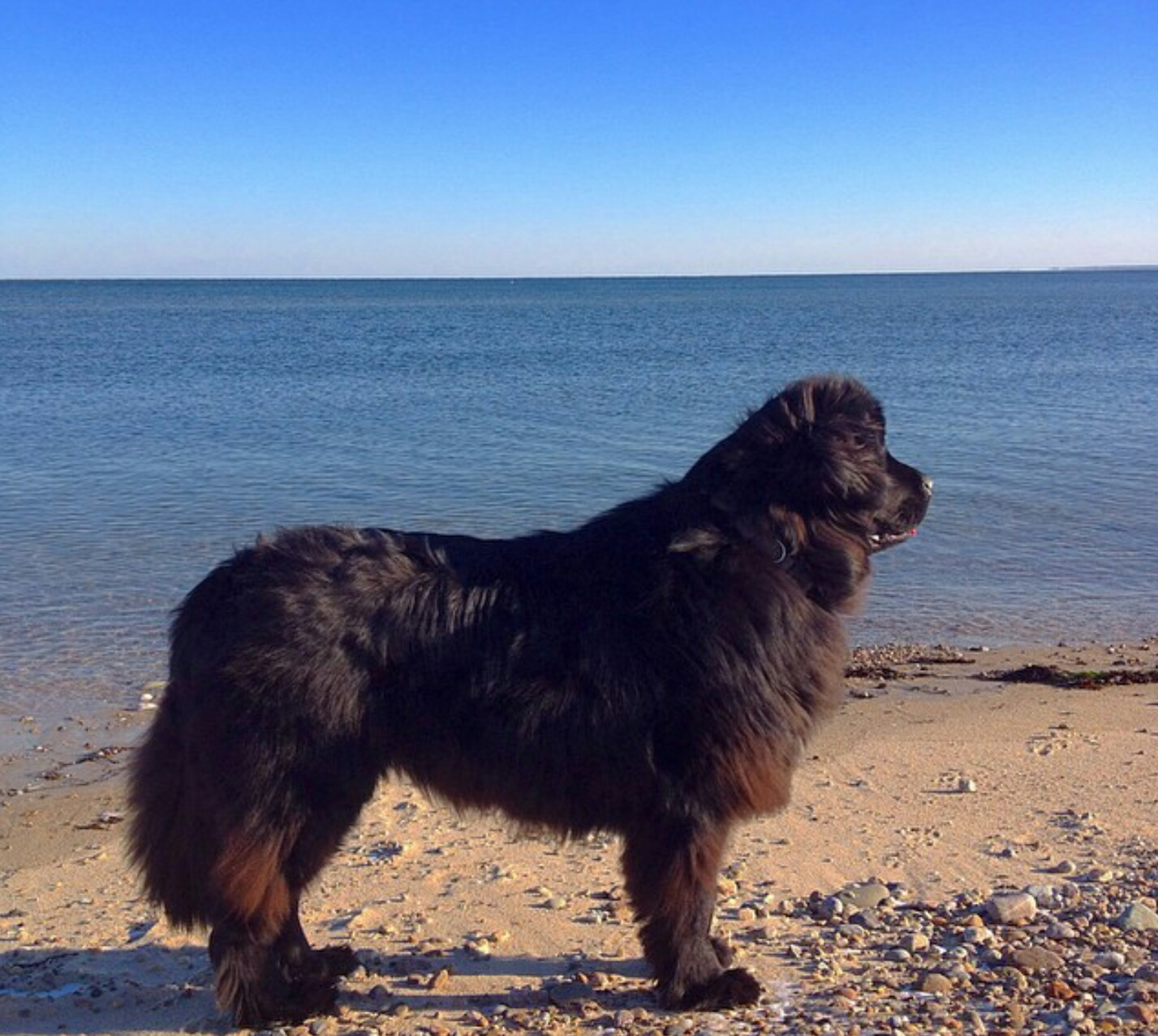 Giant Breed Dog Rescue New England
