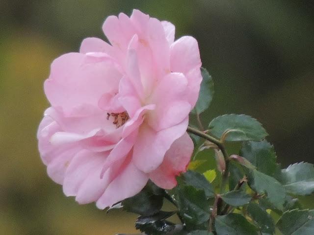 rosier remontant