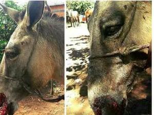 Mula foi encontrado com parte do focinho decepado (Foto: Rosa Aquino)