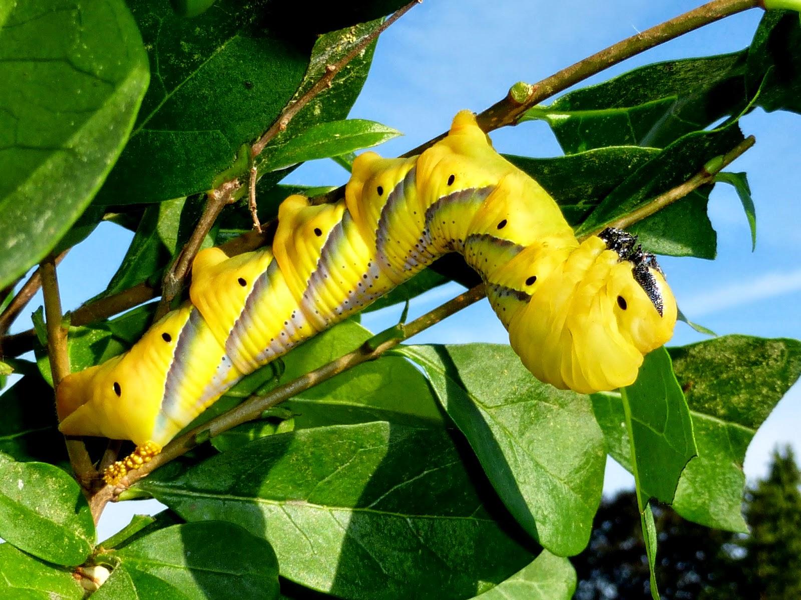 Acherontia atropos caterpillar L5