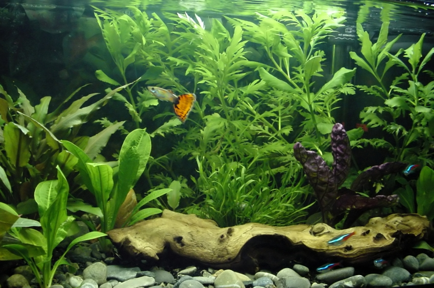 How To Choose A Good Starter Freshwater Aquarium Fish Aquarium Fish ...