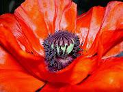 Imágenes de flores y plantas: Amapola amapola