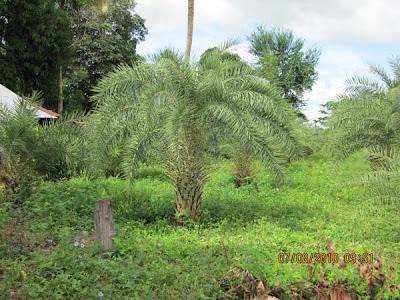 ขาย ต้นอินทผาลัม ที่ราคาถูก