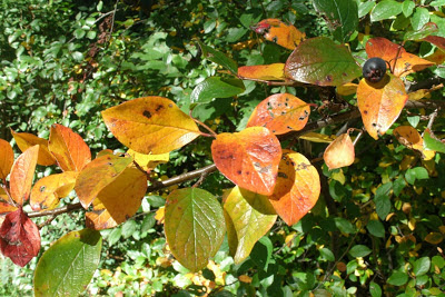 Cotoneaster lucidis Hedge cotoneaster fall colour by garden muses--a Toronto gardening blog