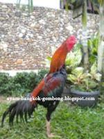 Ukuran Ayam Bangkok Berdasarkan Berat Badan