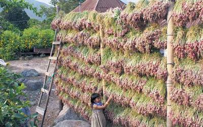 pengeringan bawang merah