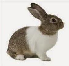 Kelinci