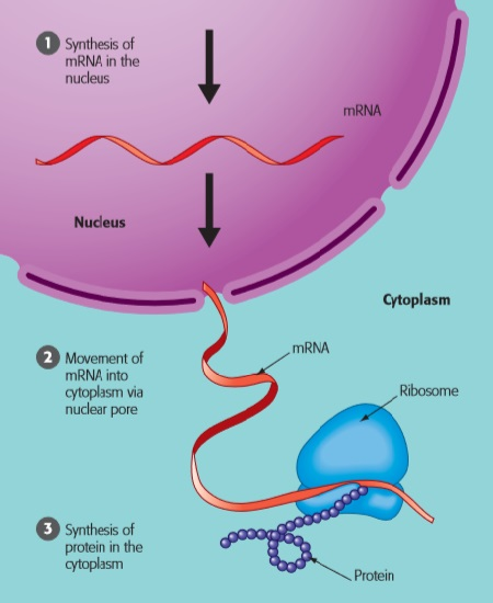 The Nucleus And Ribosomes The Genetic Control Of Cells Young