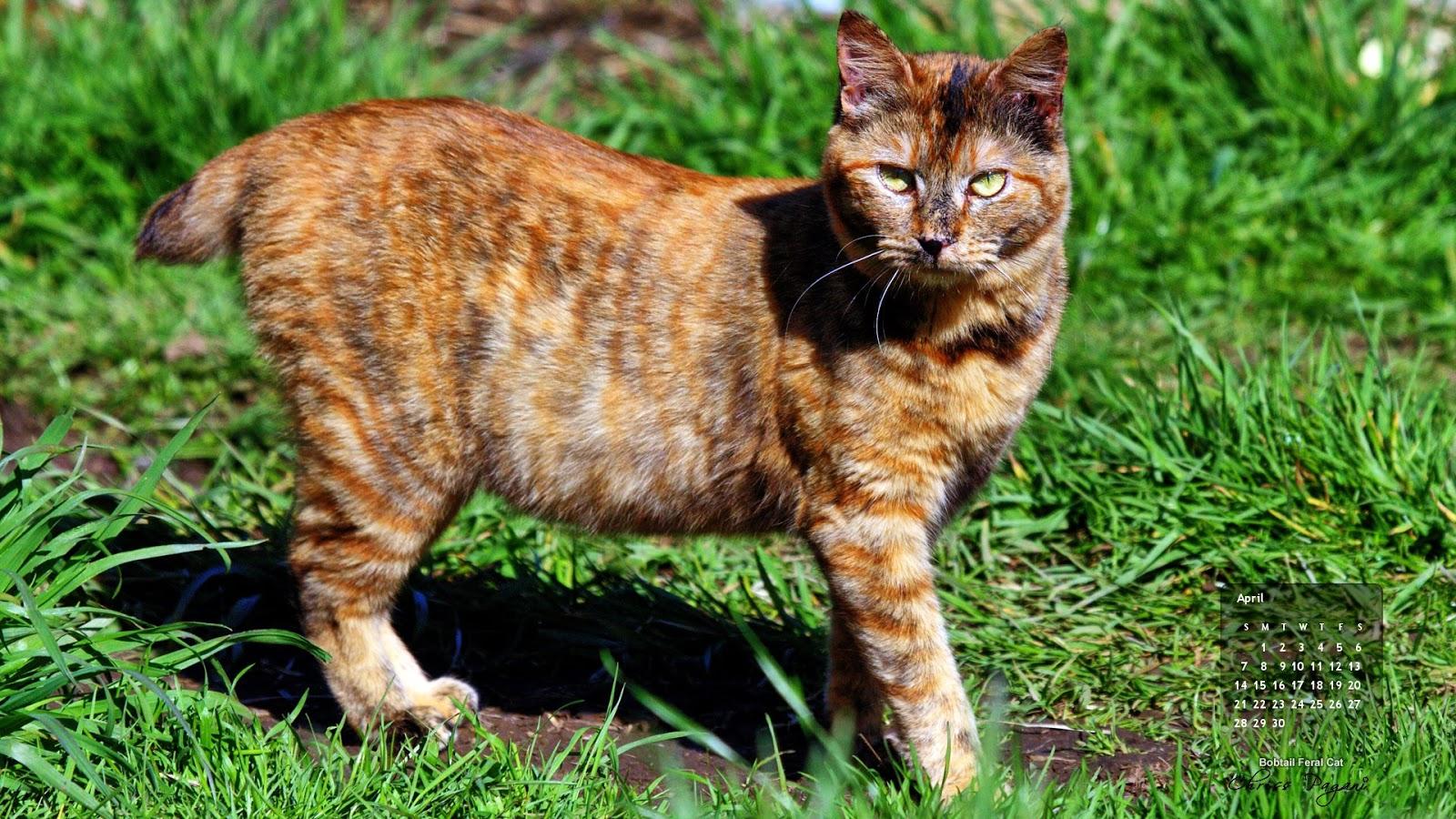 April-bobtail-cat.jpg