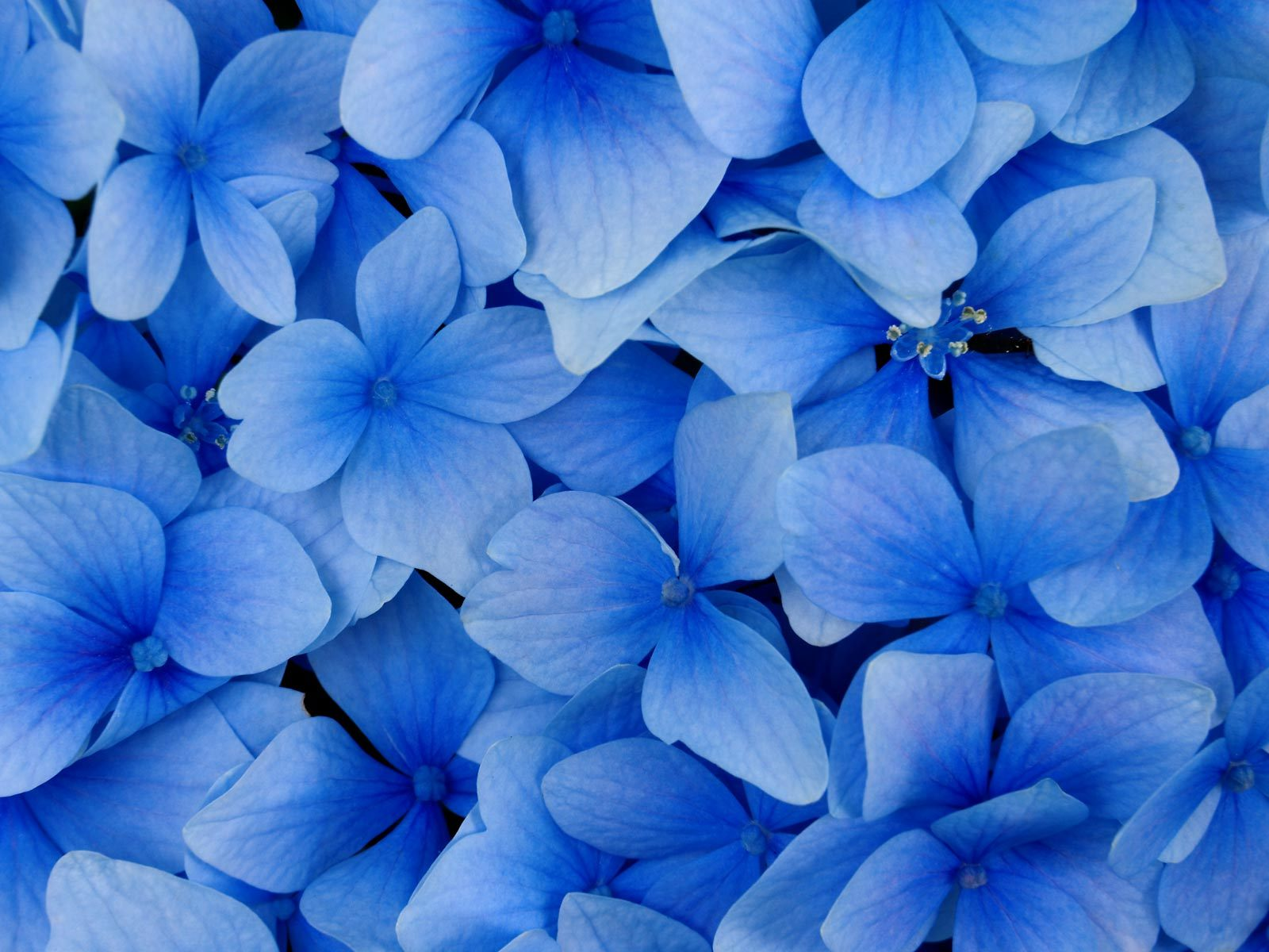 Passion flower Hydrangea pictures Tulips floral HD photos