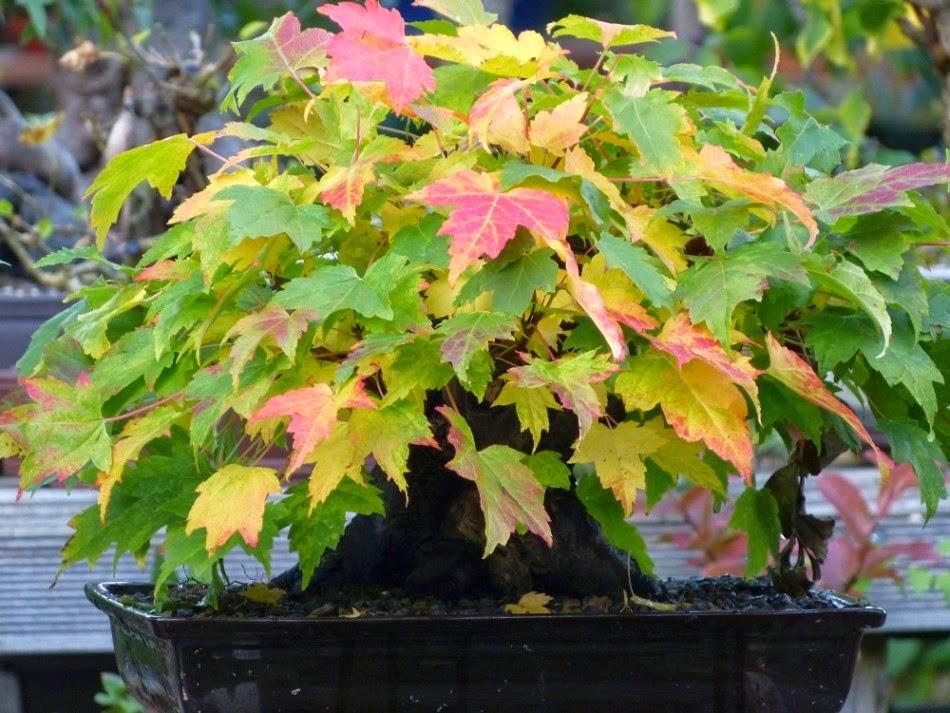 Holger 39 s bonsai blog oktober 2014 - Arce rubrum bonsai ...