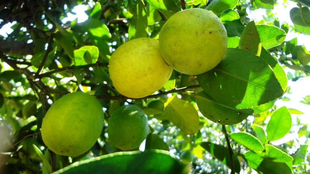 El rbol de lim n o limonero vivero virtual de plantas for Limonero sin limones