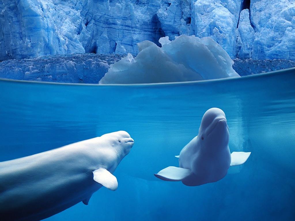 http://1.bp.blogspot.com/-Y_yGQJ97myo/UF31l3Xj9jI/AAAAAAAAAFg/y8FK5UYv1kE/s1600/belugas_underwater,_ocean_life.jpg