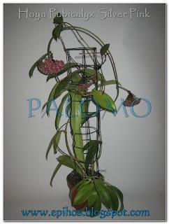 Epiphyllum Hoya Stapelia: mayo 2011