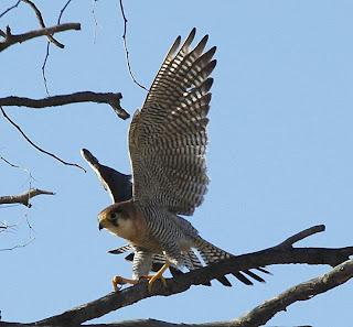 Falcon on the tree