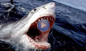 [Video] Λευκός καρχαρίας 6 μέτρων επιτίθεται σε βαρκάκι - Στιγμές πανικού