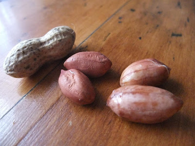 swelling peanut after soaking in water, sprout, root
