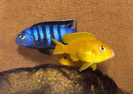 Fish Pictures: Saulosi - Pseudotropheus saulosi
