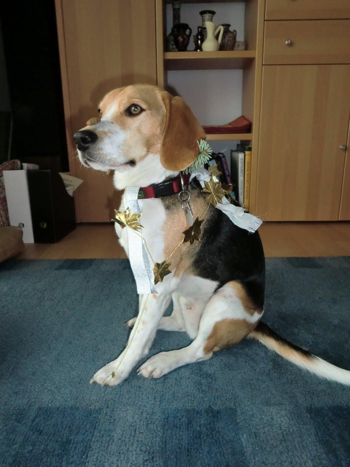 ein beagle auf wanderschaft ein beagle ist kein tannenbaum. Black Bedroom Furniture Sets. Home Design Ideas