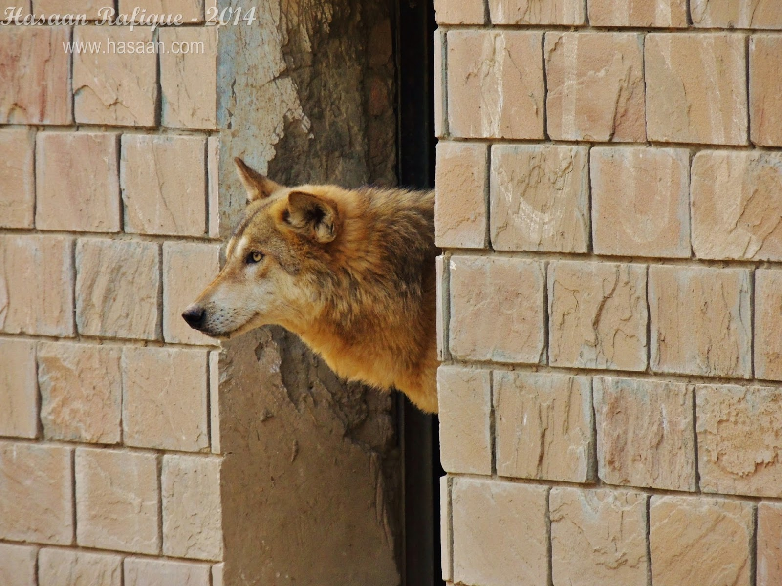A wolf looking out of its chamber in the zoo. I had only a few seconds to capture this sight.