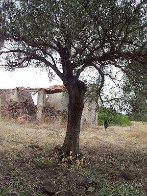 Ulivo ripulito dai polloni a Monte Pedru a Monte Pedru, Perfugas, Sassari, Sardegna