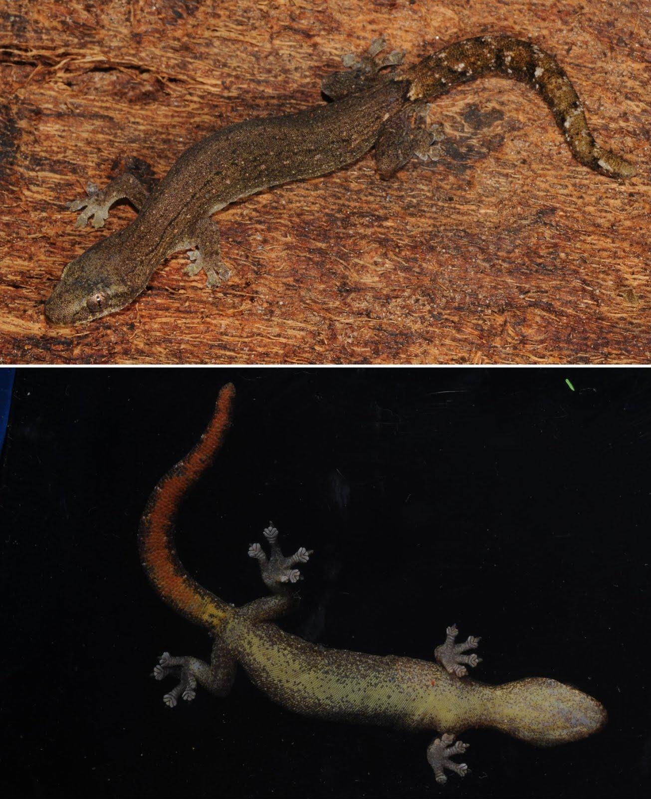 Hemiphyllodactylus jnana