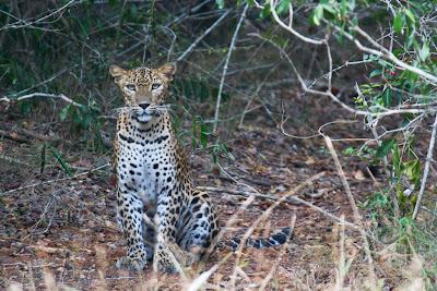 A Leopard photographed in Wilpattu, Sri Lanka