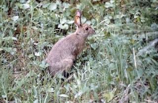 kelinci liar di australi