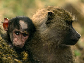 Foto Monyet Gendong Anak Imut