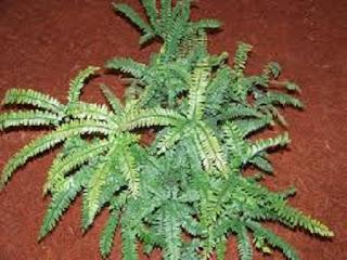 Jardineria, Catalogo de Plantas: Adiantum hispidulum